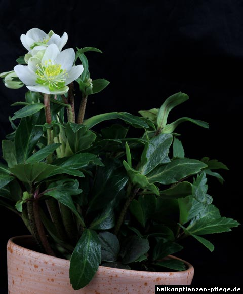 christrose helleborus niger balkonpflanzen pflege. Black Bedroom Furniture Sets. Home Design Ideas