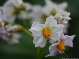Lila Kartoffelblüten
