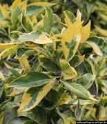 Zitrone Blätter