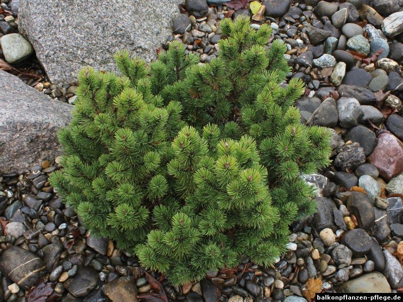 Zwergkiefer (Pinus mugo) › Balkonpflanzen Pflege