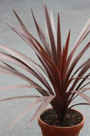 Cordyline australis (Keulenlilie)