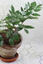 Mahonia aquifolium (Mahonie)