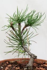 Pinus mugo (Zwergkiefer)