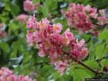Rosskastanie Blüten