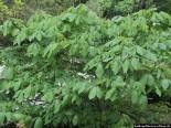 Strauchkastanie (Aesculus parviflora)