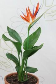 Strelitzia reginae (Paradiesvogelblume)