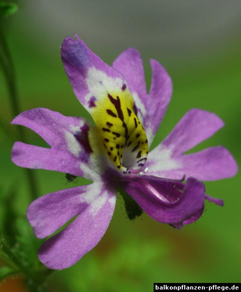 Bauernorchidee Blüte