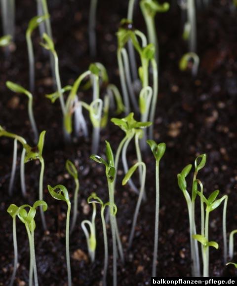 Bauernorchidee-Samen