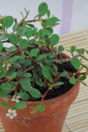 Cotoneaster dammeri (Teppich-Zwergmispel)