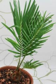 Cycas revoluta (Palmfarn)