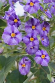 Lycianthes rantonnei (Enzianstrauch)