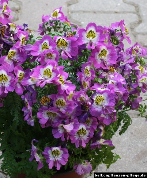 Schizanthus × wisetonensis