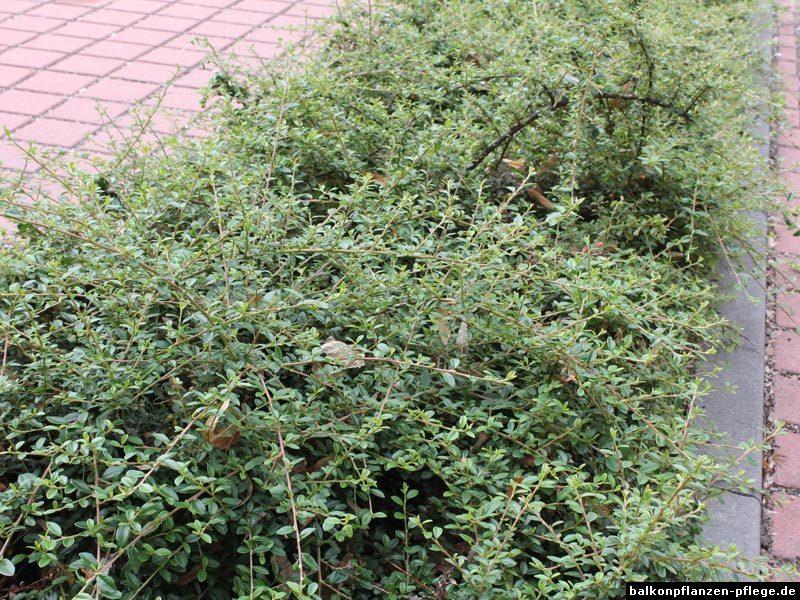 TeppichZwergmispel (Cotoneaster dammeri) › Balkonpflanzen