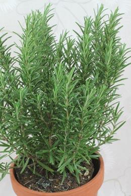 rosmarin rosmarinus officinalis balkonpflanzen pflege. Black Bedroom Furniture Sets. Home Design Ideas