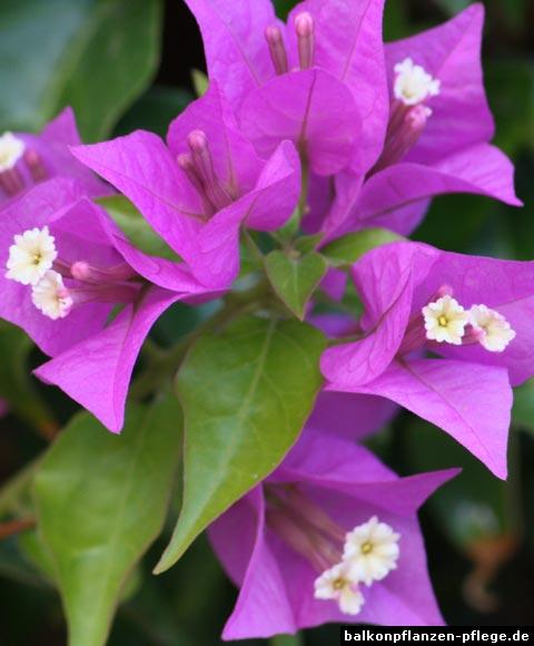 Bougainvillea glabra