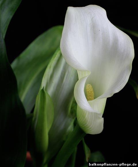 calla zantedeschia albomaculata balkonpflanzen pflege. Black Bedroom Furniture Sets. Home Design Ideas