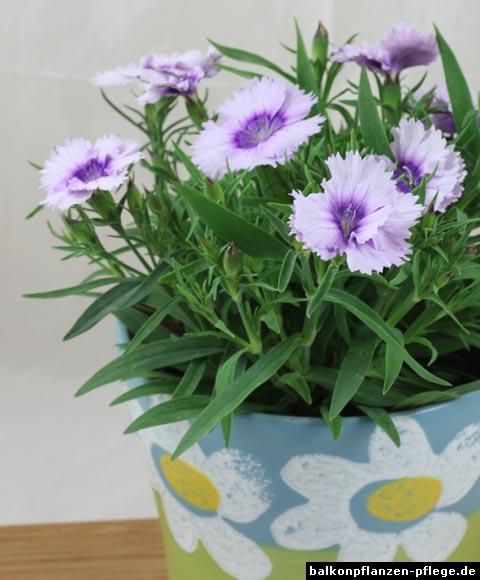chinesische nelke dianthus chinensis balkonpflanzen pflege. Black Bedroom Furniture Sets. Home Design Ideas
