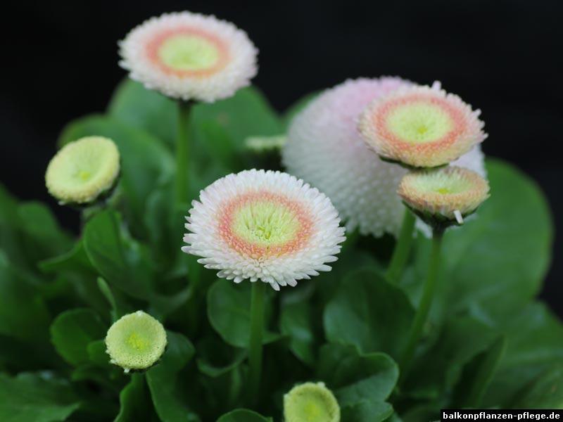 Gänseblümchen Blüten