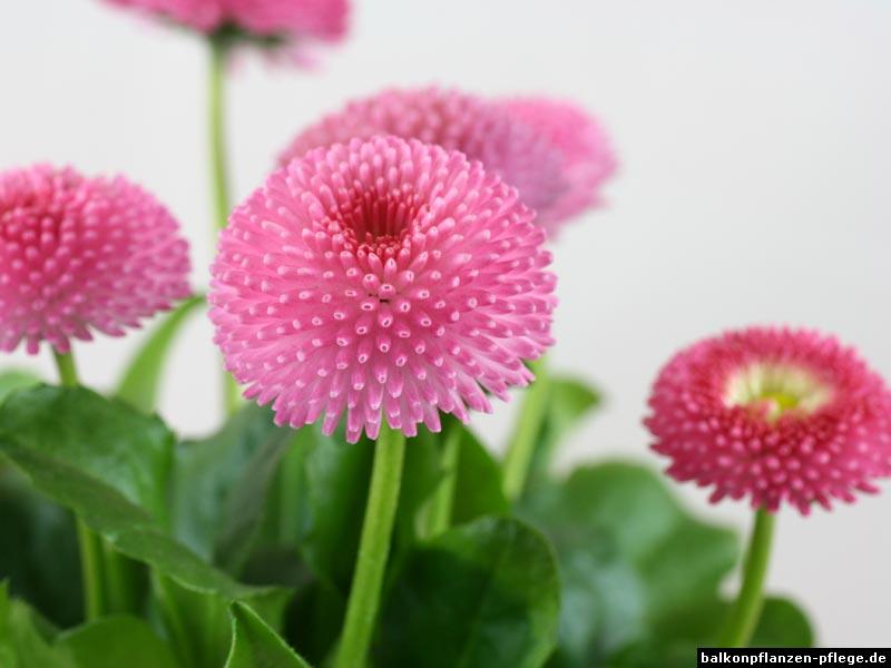 Gänseblümchen gefüllt