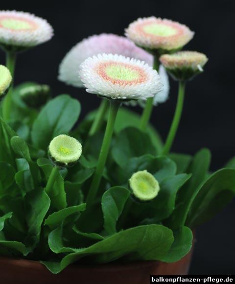Gänsebluemchen