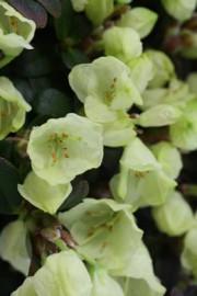 Rhododendron Wren