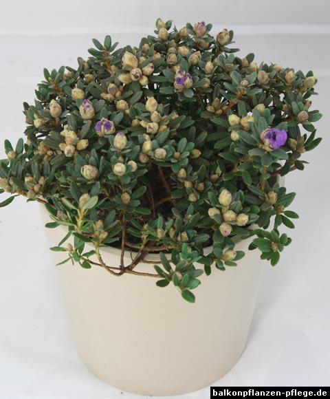 rhododendron impeditum balkonpflanzen pflege. Black Bedroom Furniture Sets. Home Design Ideas