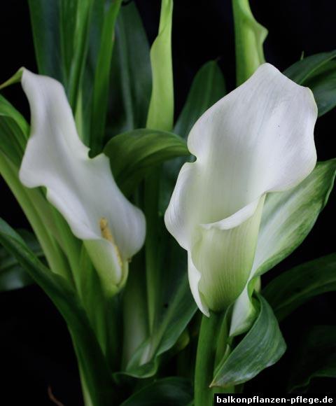 Zantedeschia albomaculata