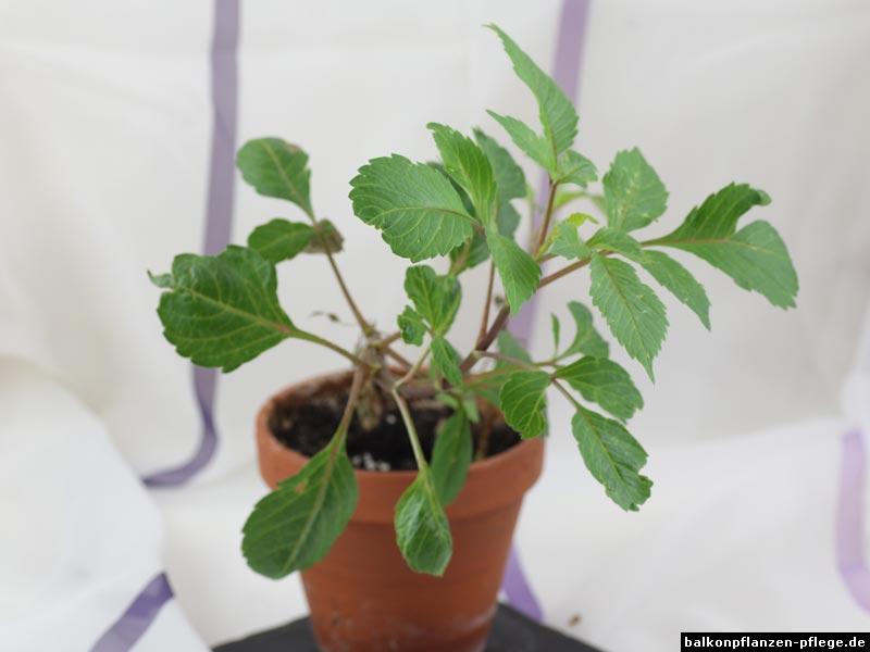 Dahlie-Jungpflanze