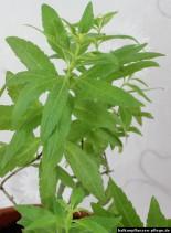 Aloysia citrodora