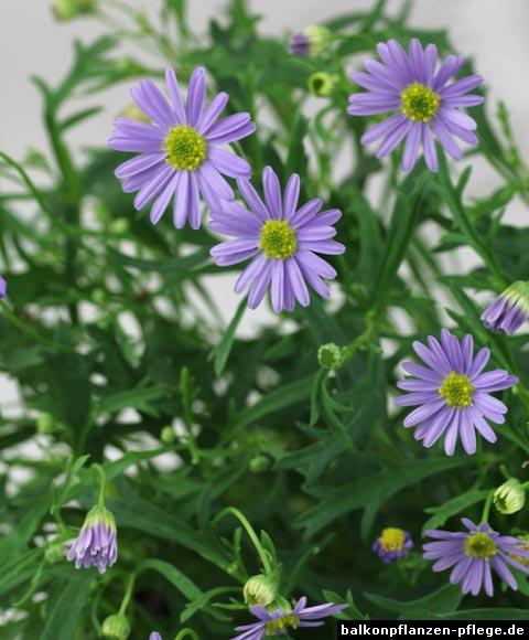 Blaues Gänsebluemchen