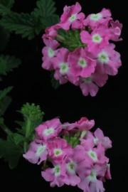 Verbena-Hybride