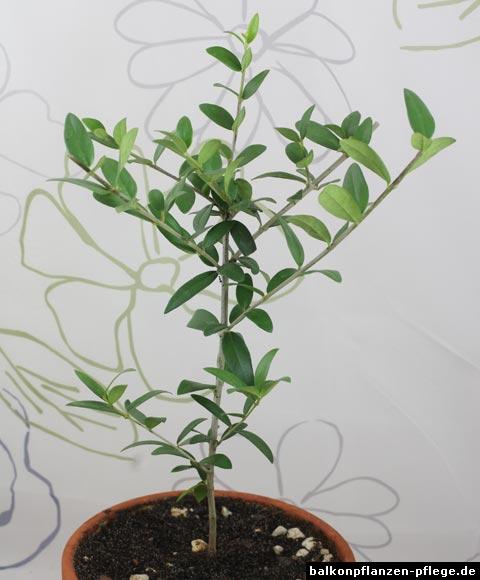 olivenbaum olea europaea balkonpflanzen pflege. Black Bedroom Furniture Sets. Home Design Ideas