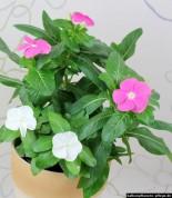 Catharanthe (Catharanthus roseus)