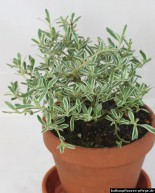 Coprosma × kirkii