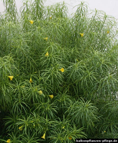 tropischer oleander thevetia peruviana balkonpflanzen pflege. Black Bedroom Furniture Sets. Home Design Ideas