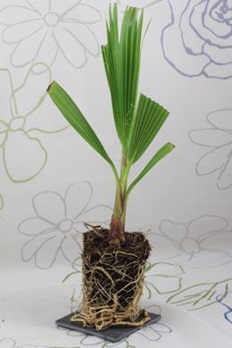 f cherpalme petticoat palme washingtonia robusta balkonpflanzen pflege. Black Bedroom Furniture Sets. Home Design Ideas