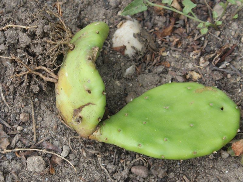 Opuntia-Steckling