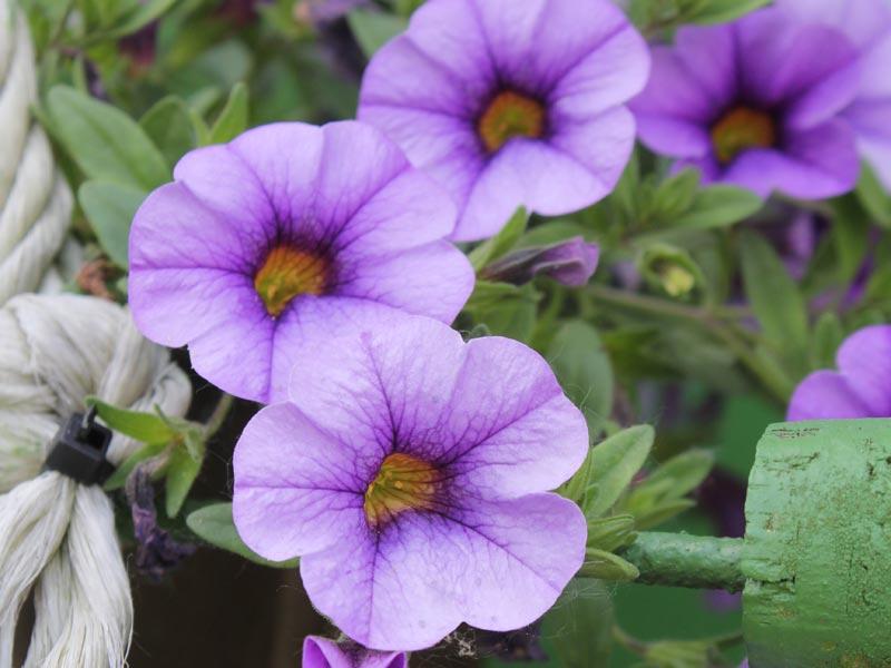 Calibrachoa-lila