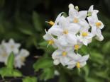 Jasmin Solanum