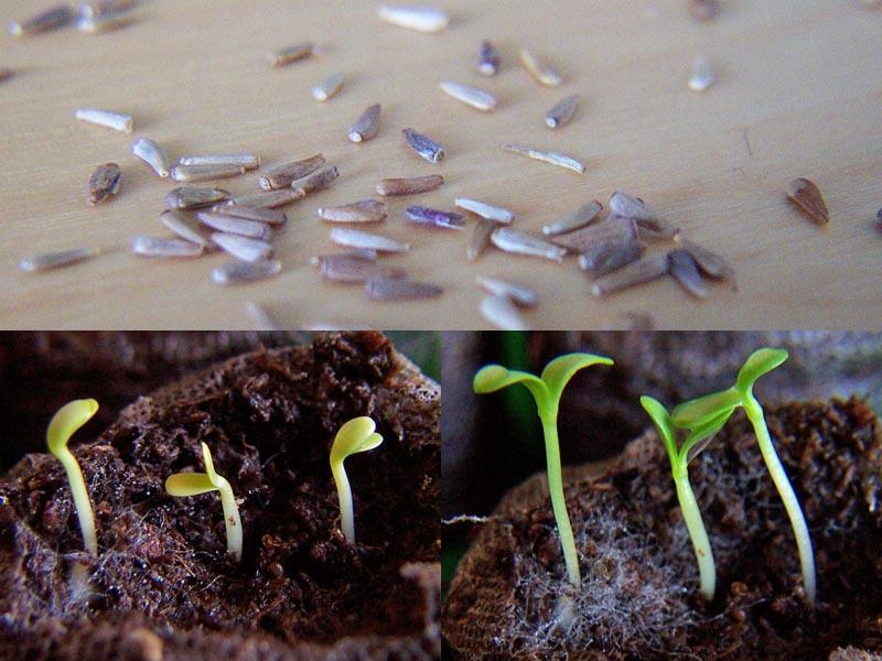 Sommeraster Samen