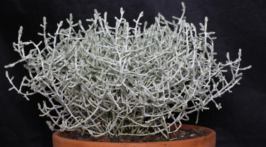 stacheldrahtpflanze calocephalus leucophyta brownii balkonpflanzen pflege. Black Bedroom Furniture Sets. Home Design Ideas