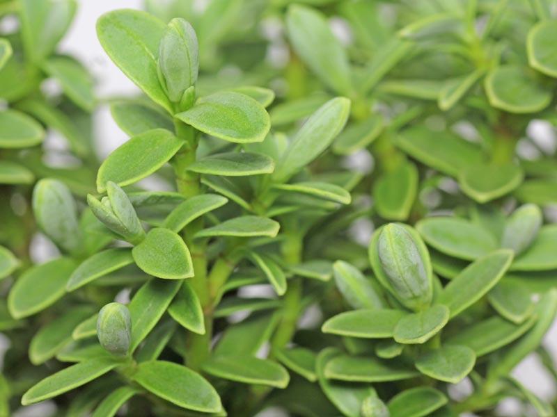 Veronica topiaria
