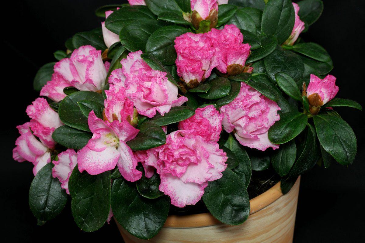 azalee rhododendron simsii balkonpflanzen pflege. Black Bedroom Furniture Sets. Home Design Ideas