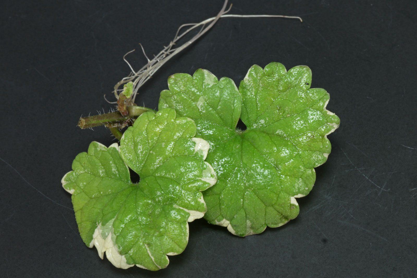 Glechoma hederacea Steckling