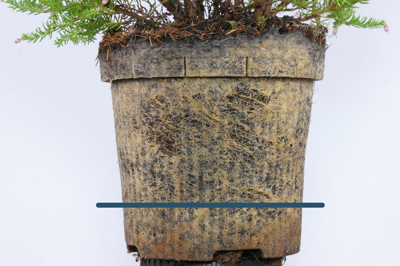 Erica gracilis Wurzeln