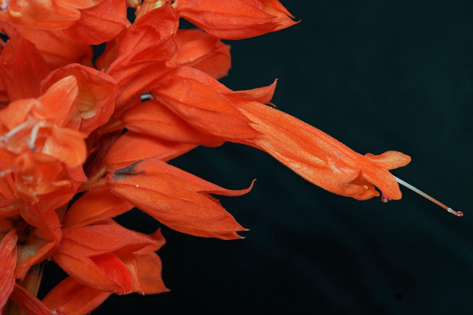 Feuersalbei Blüte