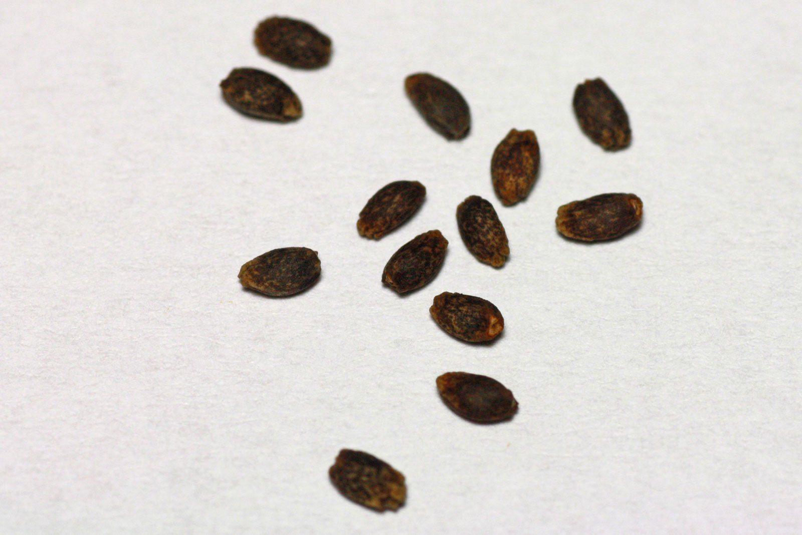 Feuersalbei Samen