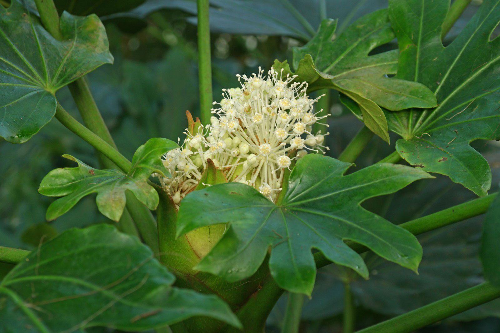 Zimmeraralie Blüte