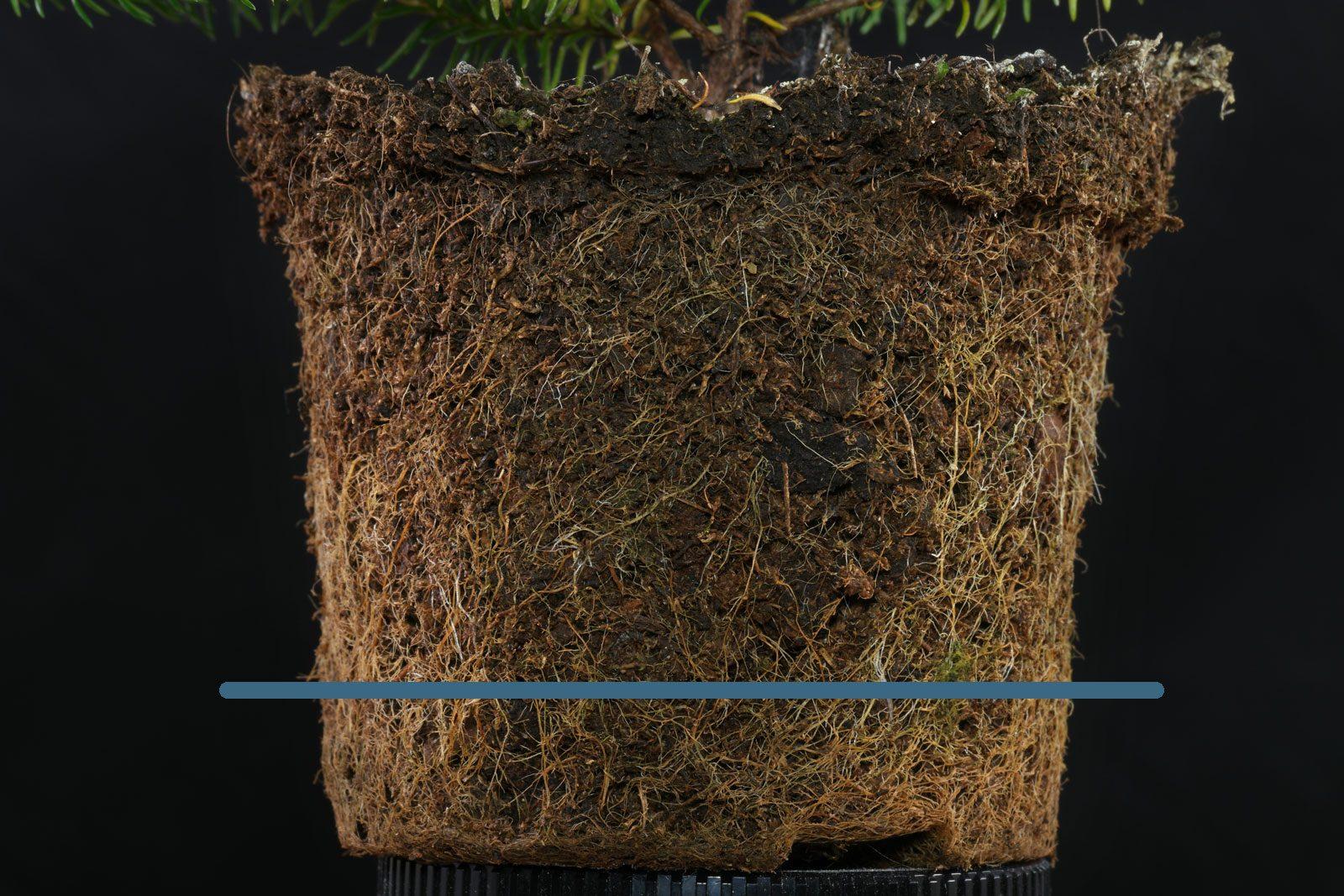 Erica ventricosa Wurzeln