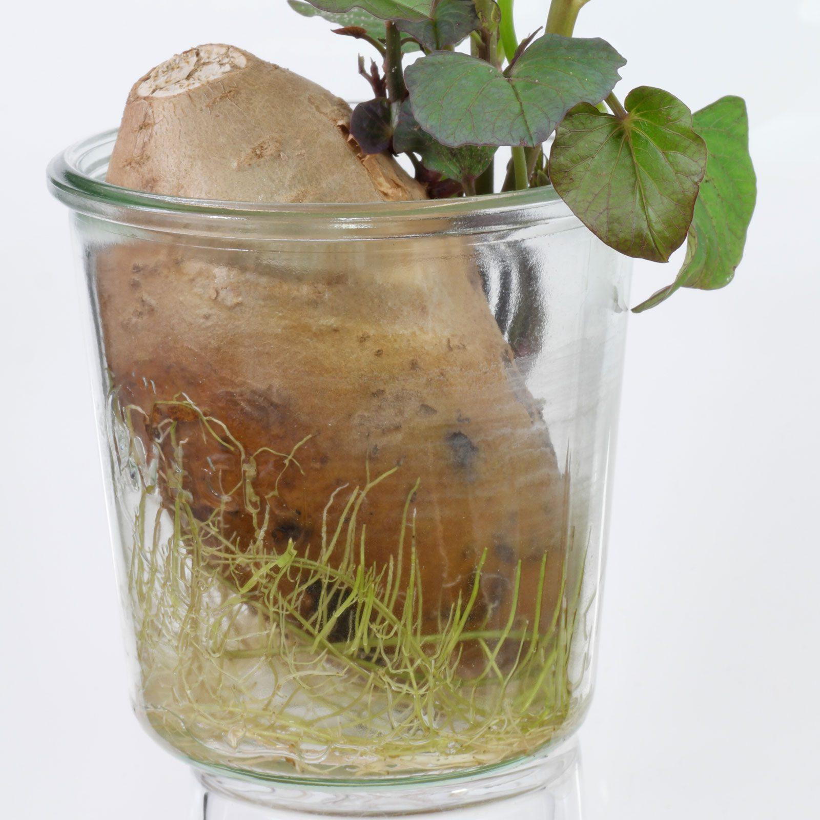 Süßkartoffel im Wasserglas